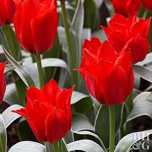Tulip, Greigii Hybrids