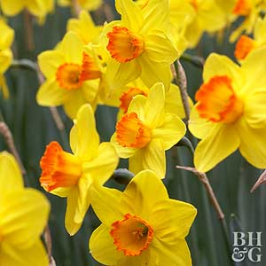 Daffodil, Large-Cup Hybrids
