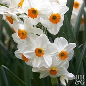 Daffodil, Tazetta Hybrids