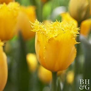 Tulip, Fringed Hybrids