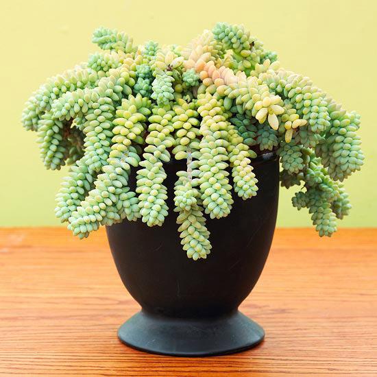 Burro S Tail Sedum Morganianum