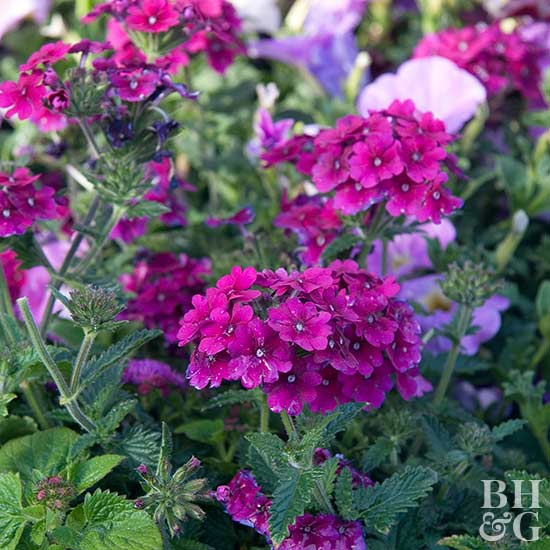 Flower Symbolism with Pictures of Flowers and Their Pictures of verbena flowers