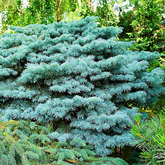 Why are the bottom branches on my colorado blue spruce for Small sized evergreen trees