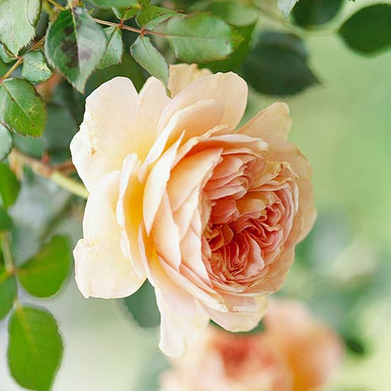 Top Roses for Gardens in the Southwest