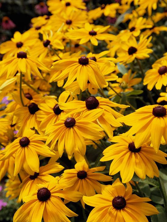 6 Long-Blooming Perennials