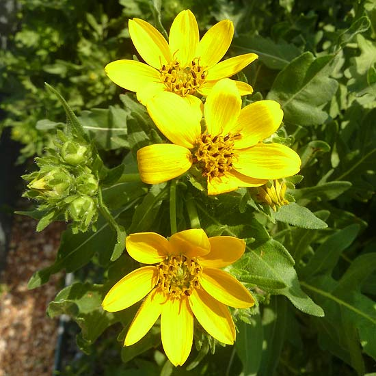 Better Homes And Gardens Sweepstakes >> Engelmann's daisy
