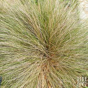 Pine Muhly