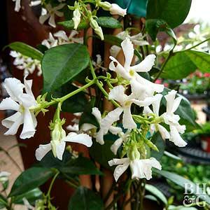 Star Jasmine, Confederate Jasmine