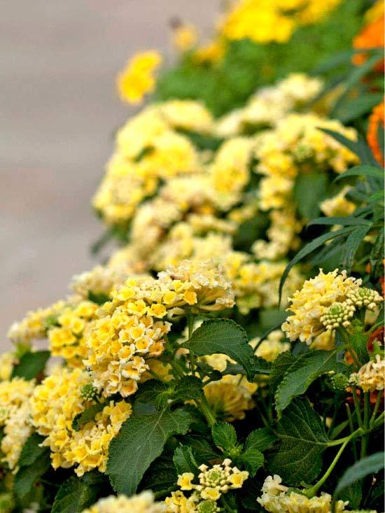 'Bandana Light Yellow' Lantana