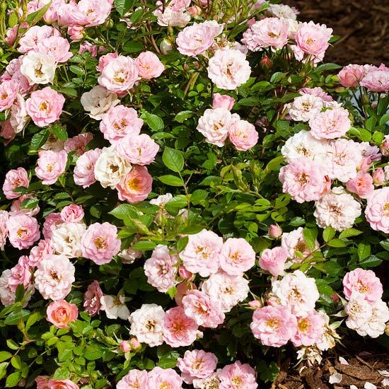 Oso Easy Happy Petit Pink Shrub Rose