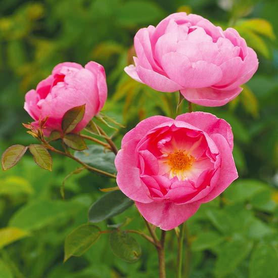 Skylark English Rose