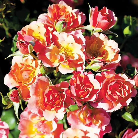 Tequila Supreme Floribunda Rose