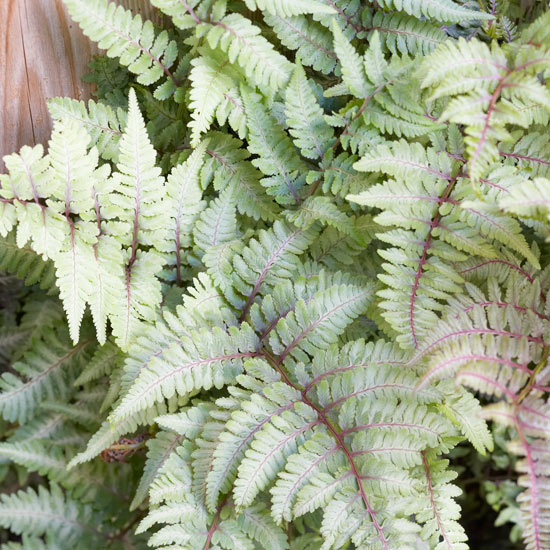 Types Of Outdoor Ferns.Best Ferns For Your Garden Better Homes Gardens