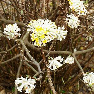Paperbush Plant