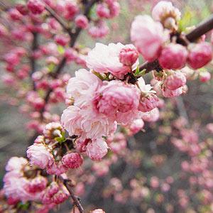 Pink flowering almond shrub mightylinksfo