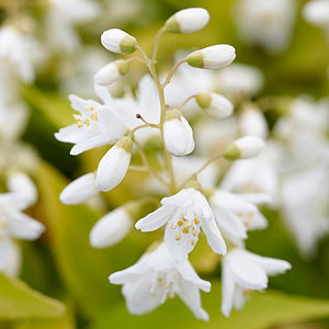 Tiny But Ful White Or Pink Blossoms Light Up The Spring This Lesser Known Shrub Reaches 2 10 Feet Tall Depending On Variety You Ll Plant It For