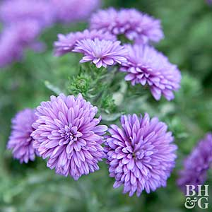 Billedresultat for Chrysanthemum