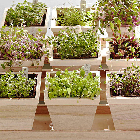 How To Grow Microgreens Indoors