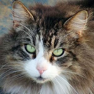 Do Cats Get Laryngitis