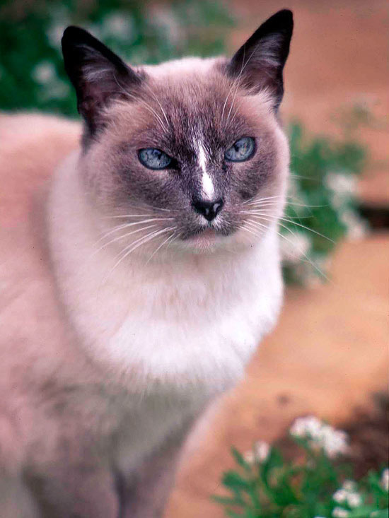 Our Favorite Siamese Cat Names