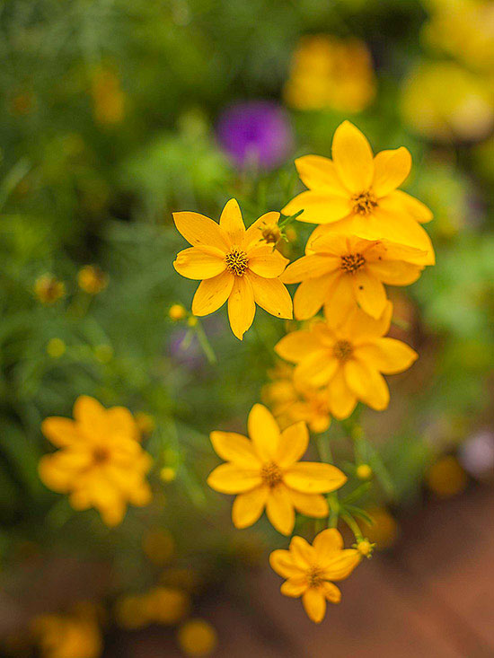 Perennial flowers that bloom all summer for Low maintenance fall flowers