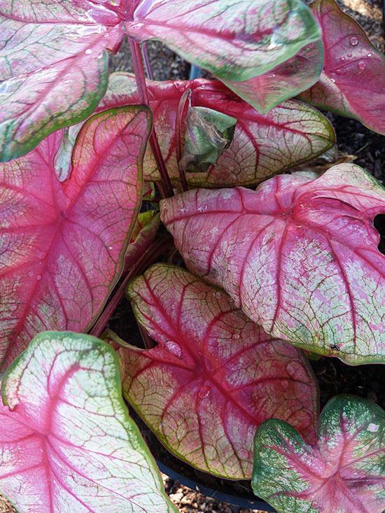 Coloured Foliage Plants