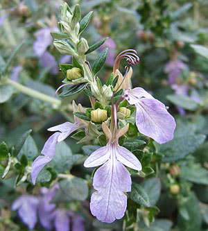 Germander Shrub