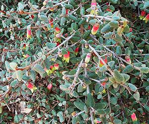 Green Cape Fuchsia