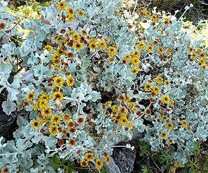 Saffron Buckwheat