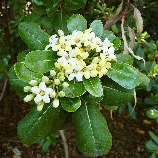 Better Homes And Gardens Sweepstakes >> Japanese pittosporum