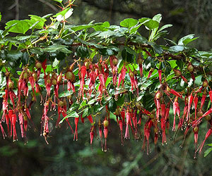 Fuchsia Flowering Gooseberry