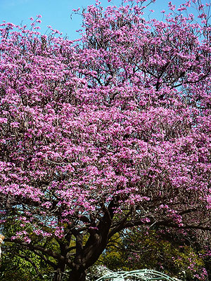 Purple Tabebuia Tree