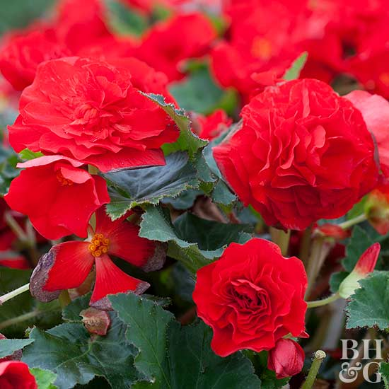 Better Homes And Gardens Sweepstakes >> Tuberous begonia