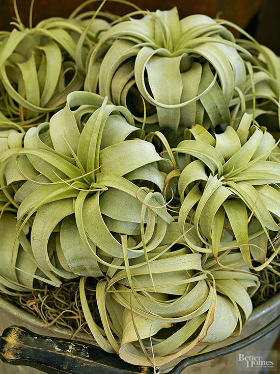 How to Grow and Care for Air Plants | title