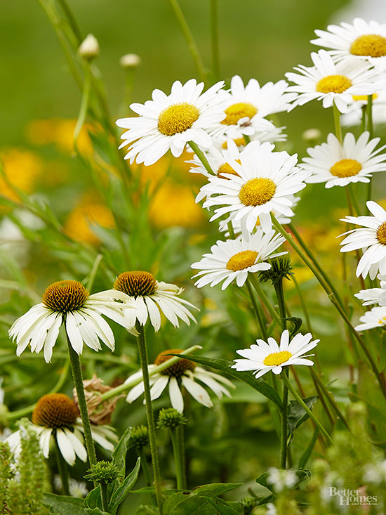 when is the best time to transplant shasta daisies