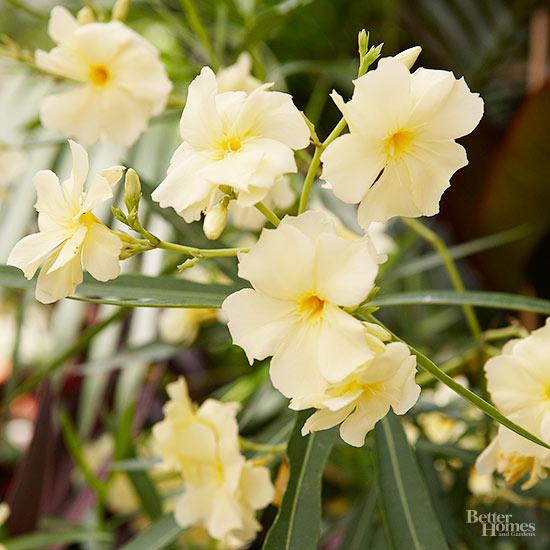 How Should I Trim Back My Oleander?