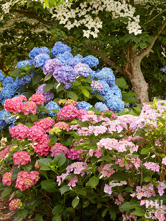 What Is the Appropriate Fertilizer for Pink Hydrangeas?