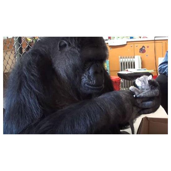 Gorilla Meets Kittens: A Love Story