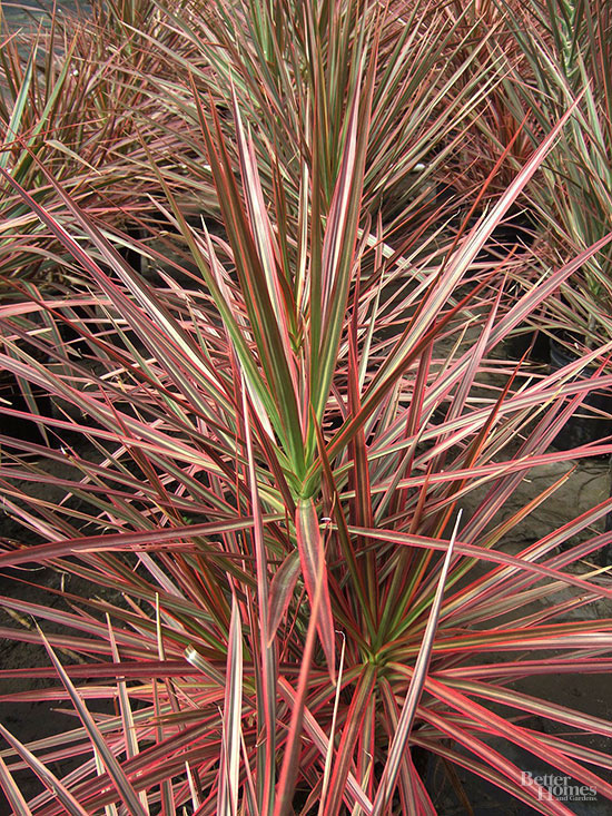 Why is my Dracaena marginata plant losing its leaves?