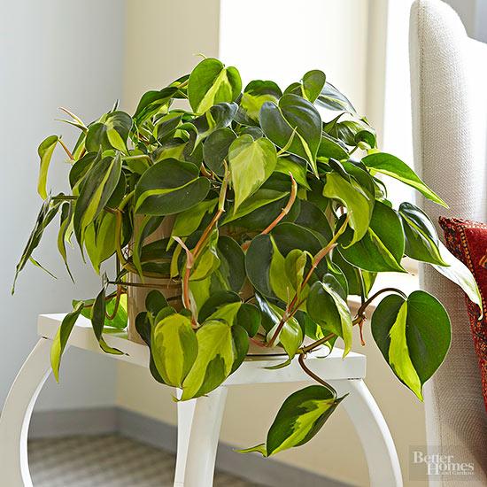 11 Heartleaf Philodendron