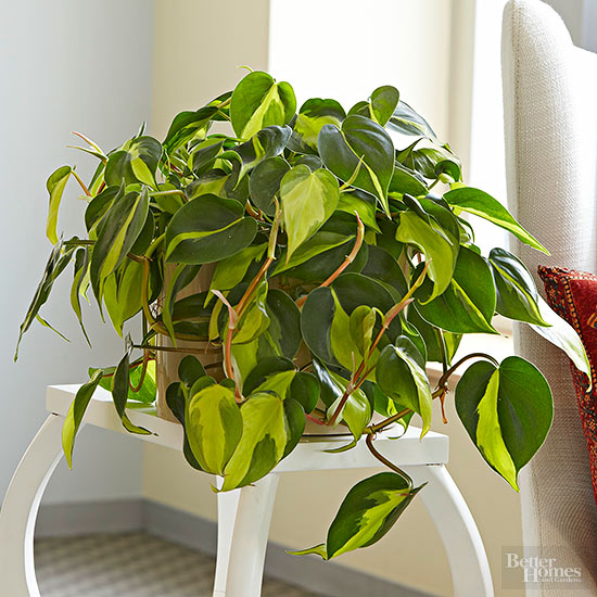 philodendron heartleaf - Low Light Flowering House Plants
