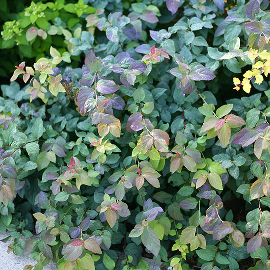 New Trees Shrubs And Vines For 2015
