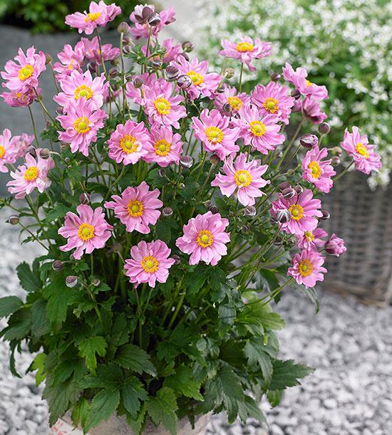 New Perennials For 2015