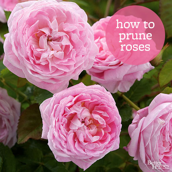 Tips for Pruning Roses