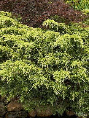 Saybrook Juniper Tree