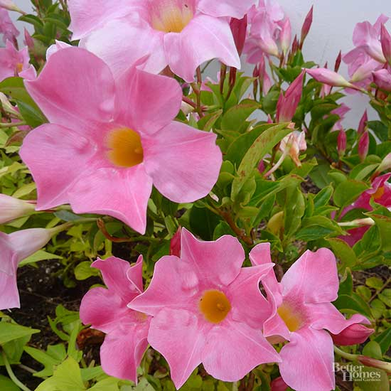 Heat Tolerant Annuals That Bloom All Summer Long