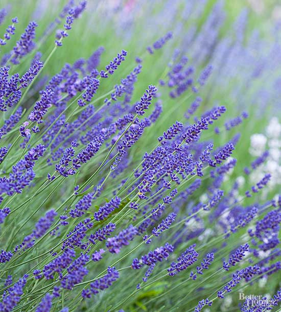 How to Grow Lavender for Heavenly Scents and Sensations