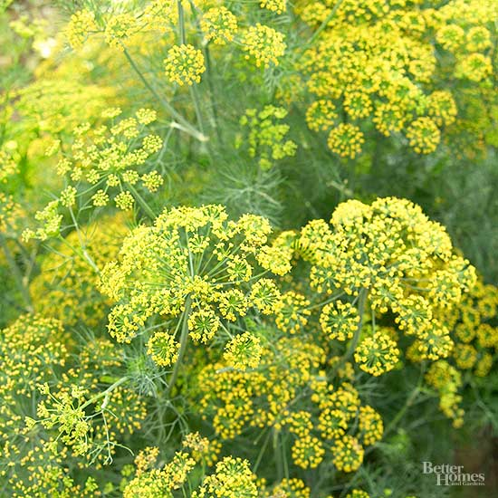 How to Grow Dill for Garden Beauty -- and Pickles