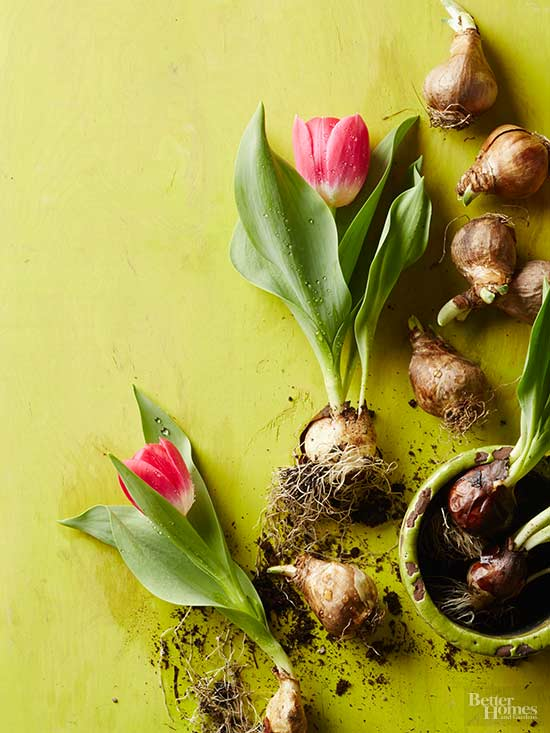 How to Plant Tulip Bulbs for Dazzling Spring Blooms
