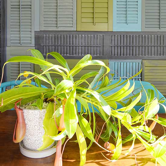 ingenious tropical foliage house plants. Tropical Pitcher Plant 11 Plants that Will Grow Better in Your Bathroom